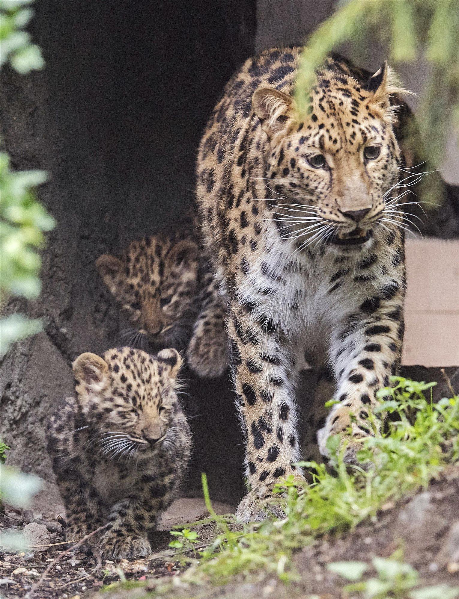Primera aparición pública de 2 cachorros de leopardo del Amur en el Zoo de Leipzig