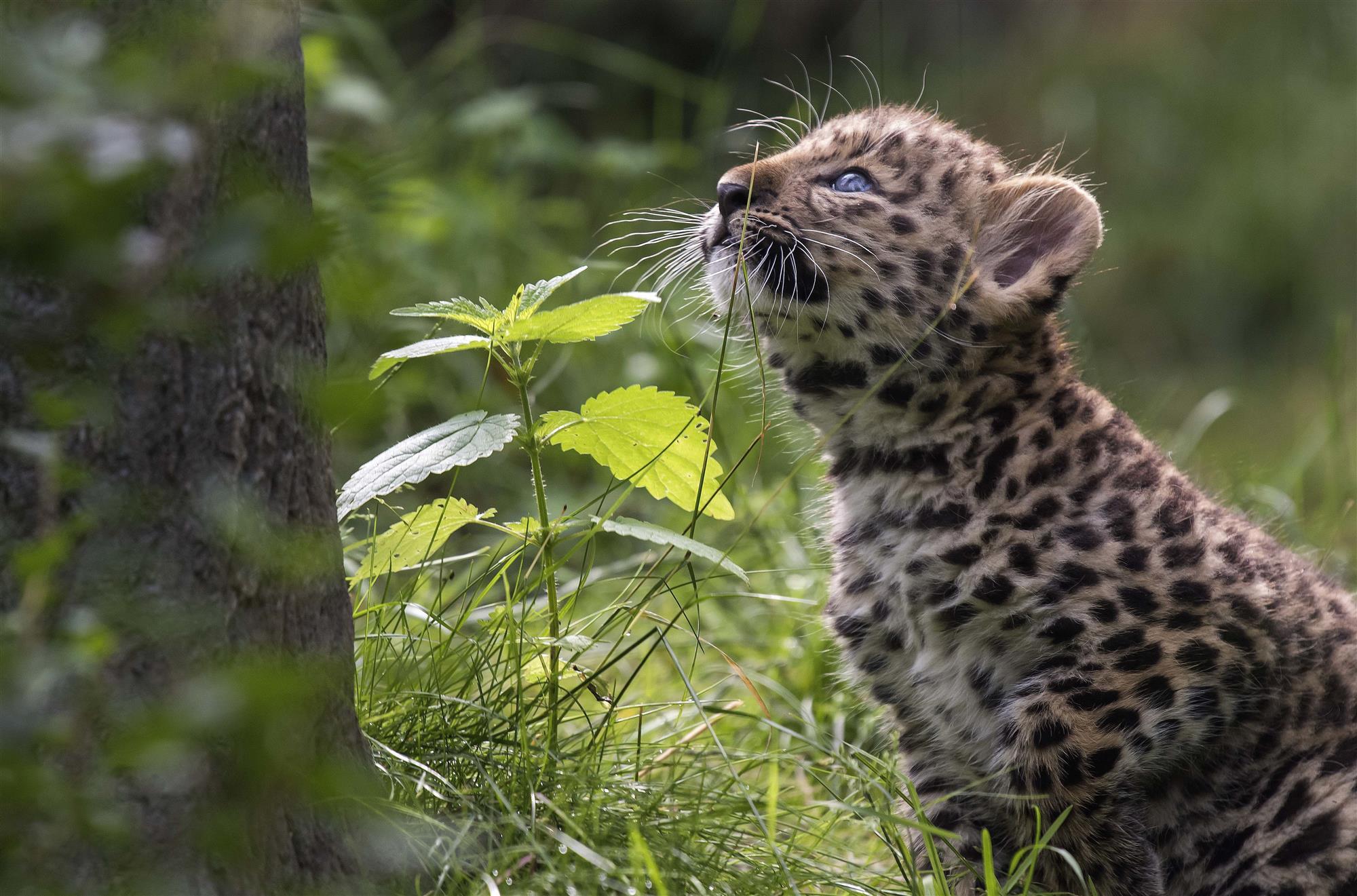 Primera aparición pública de 2 cachorros de leopardo del Amur en el ...
