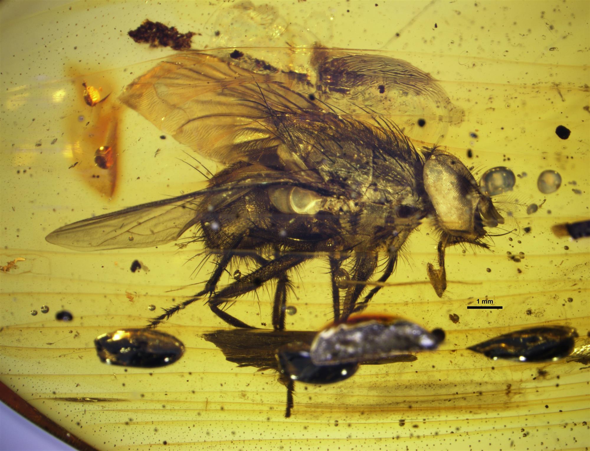 Una mosca perfectamente conservada en ámbar de la República Dominicana