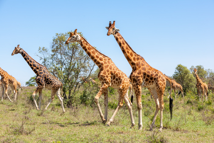 ¿Por qué las jirafas tienen un cuello tan largo?