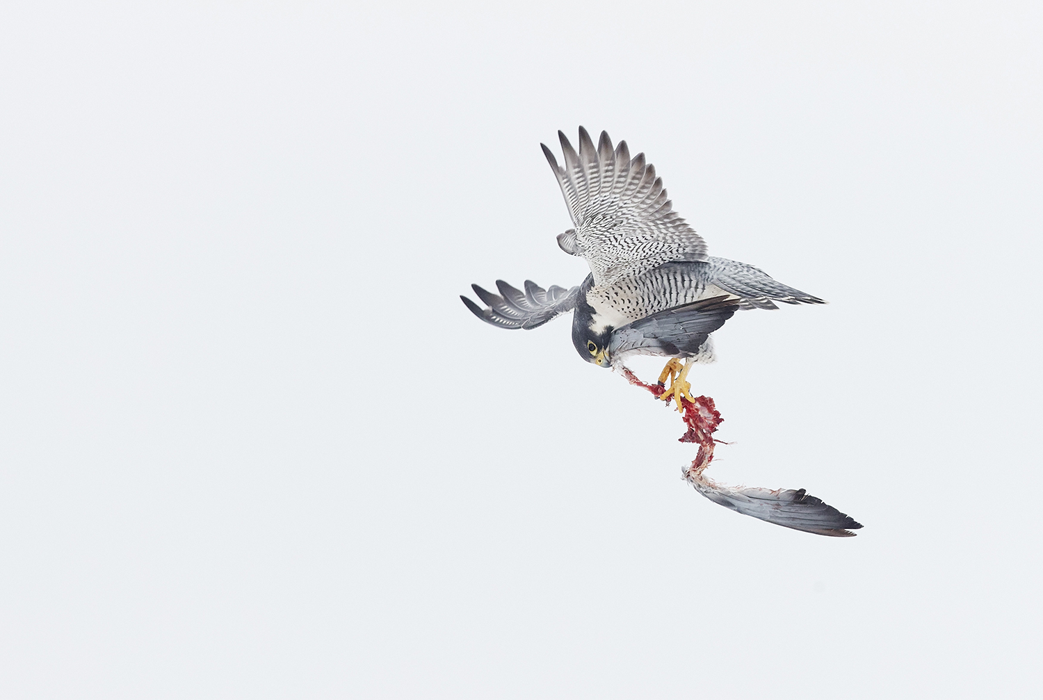 Peregrine's lunch. Peregrine's lunch