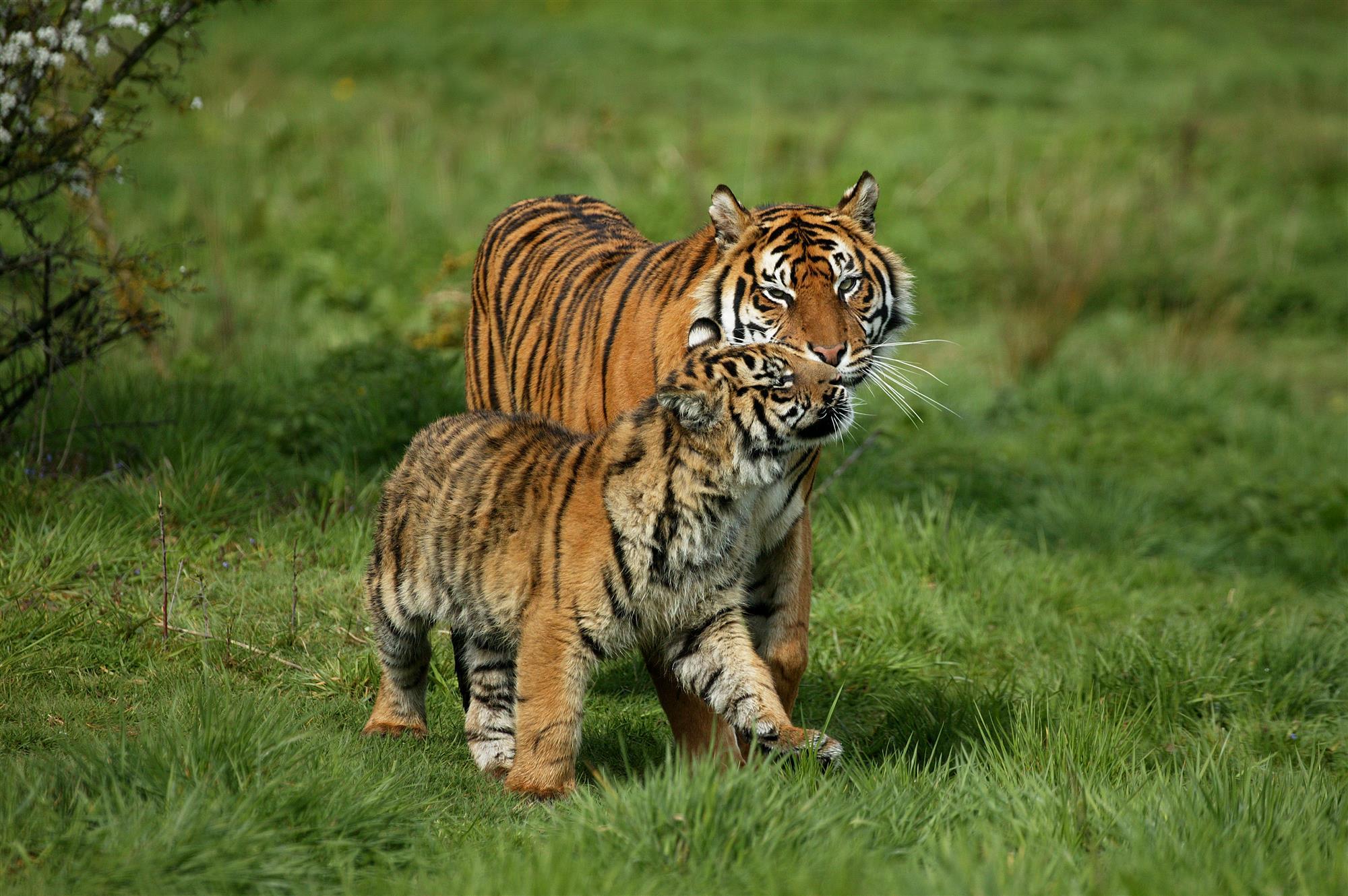 Asombroso Uñas Diseño Del Tigre Componente - Ideas de Pintar de Uñas ...