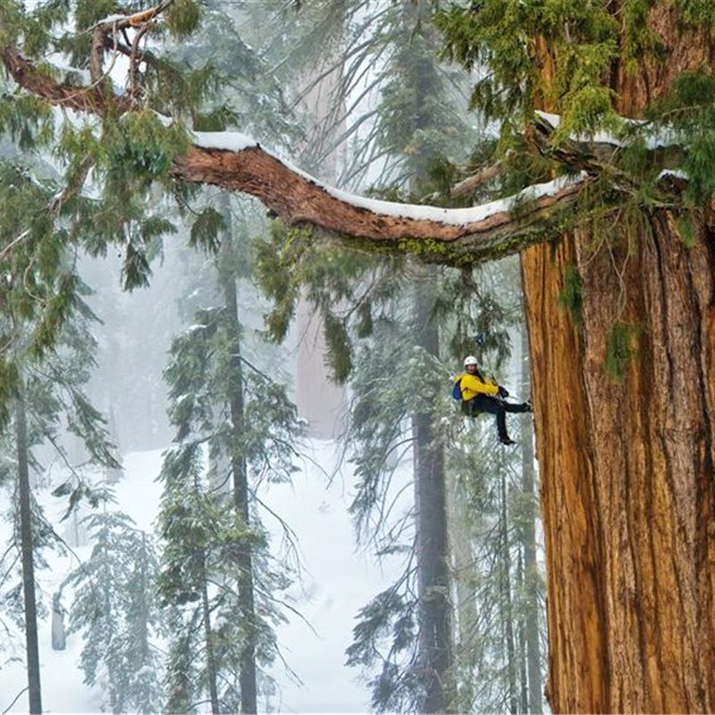 05-sequoias-withstand-winter-snow-weight