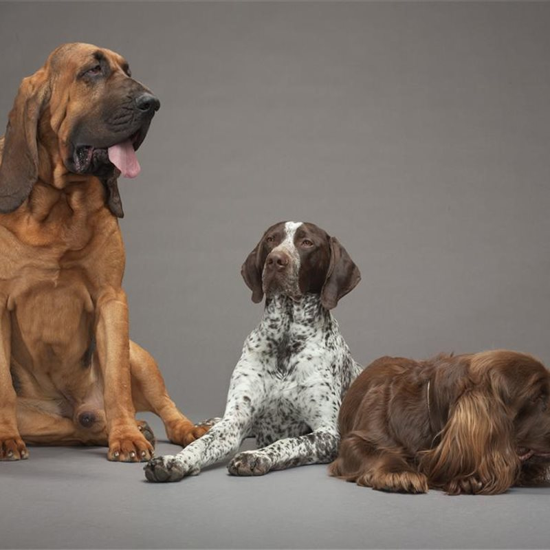 18-bloodhound-pointer-spaniel