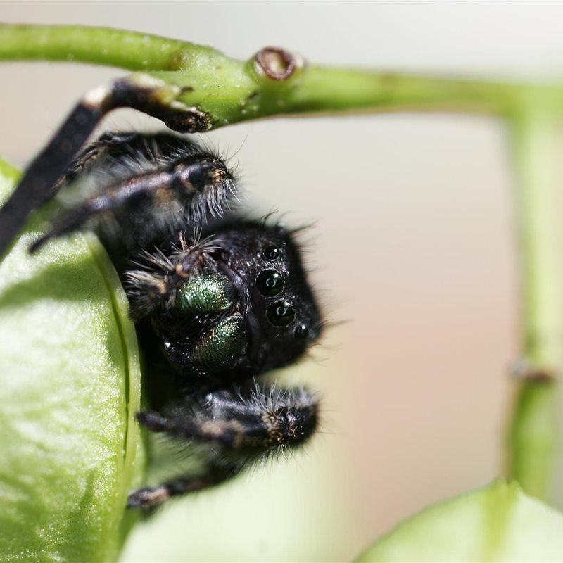 Consiguen entrenar a una araña para estudiar sus saltos