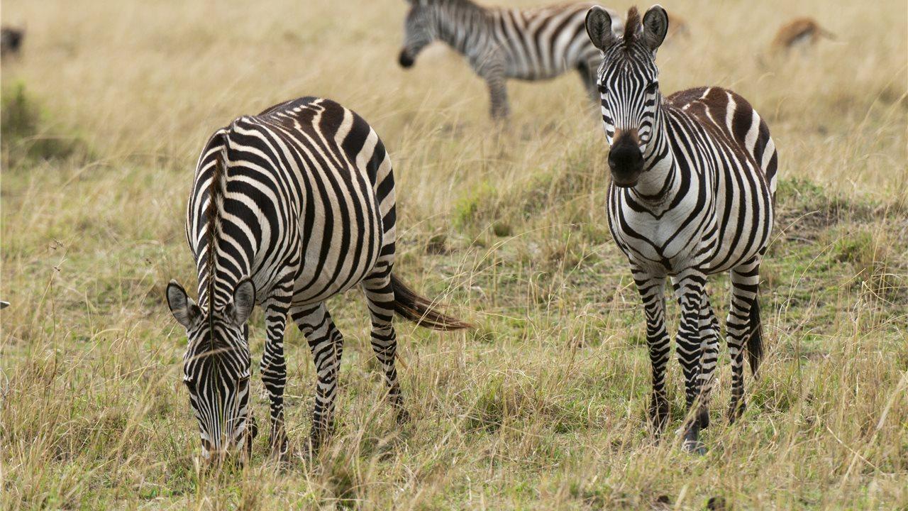 Zebra O Cebra Yahoo Cebras escanead...