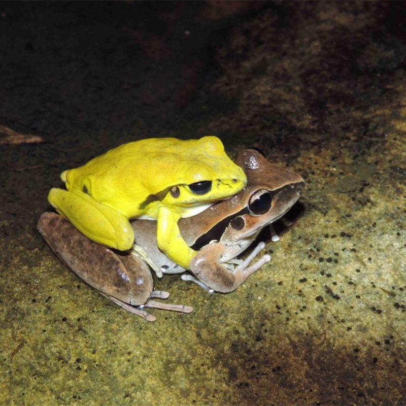 Algunas ranas exhiben colores brillantes para triunfar en la época ...