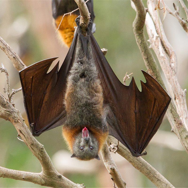 Una lengua peluda que ayuda a los murciélagos a alimentarse