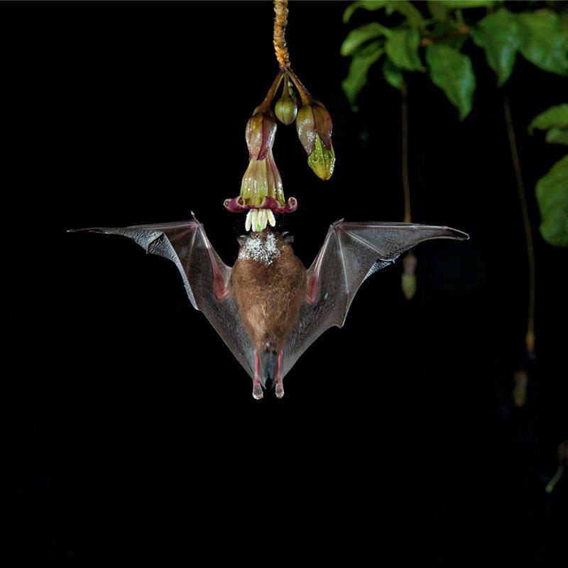 Murciélagos, la llamada de la flor