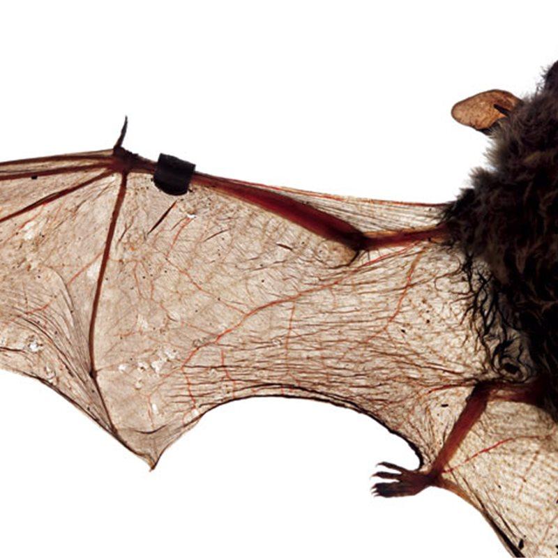 Cada vez hay menos murciélagos