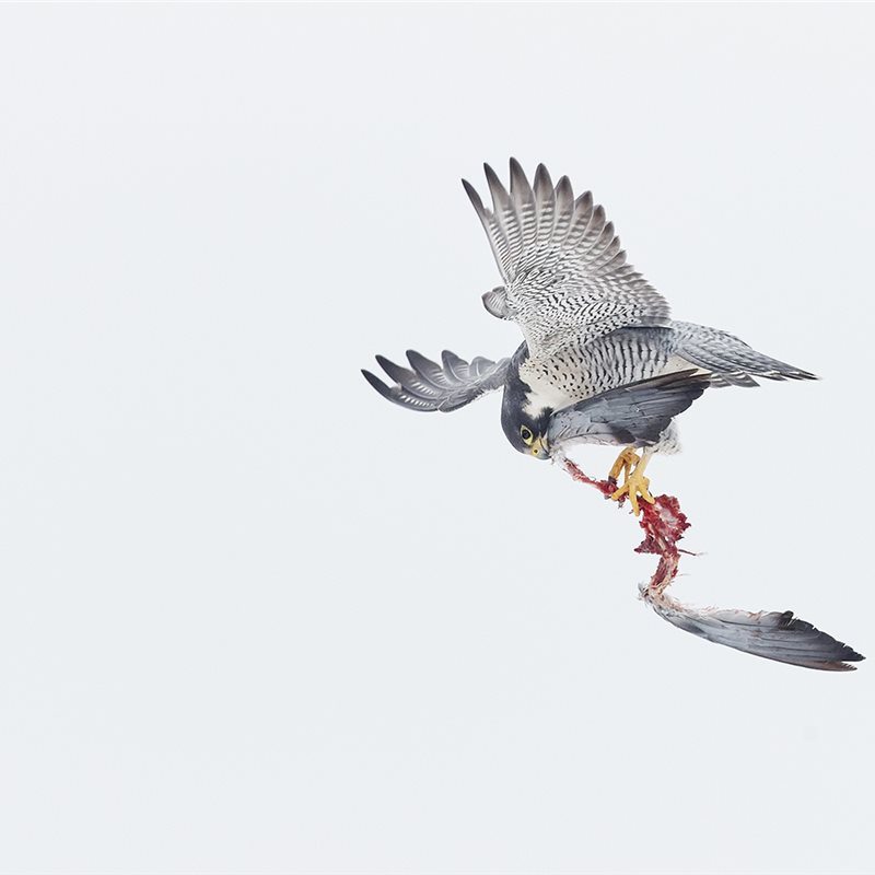 Peregrine's lunch