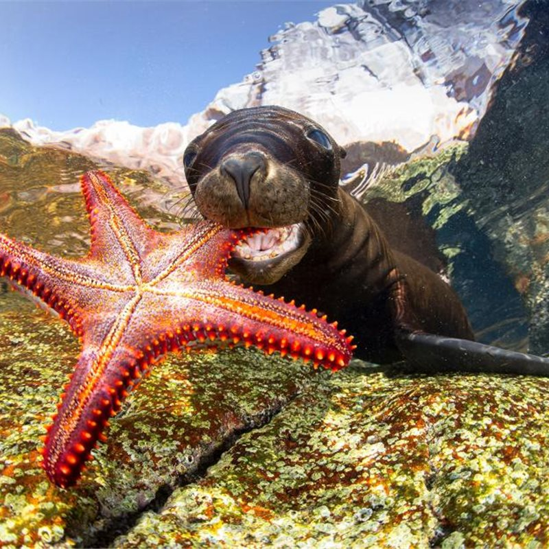 """Sealion playing with starfish"""
