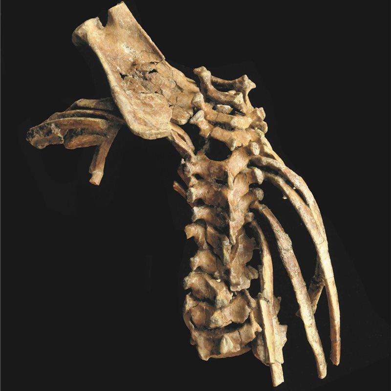Un fósil de hace 3,3 millones de años revela la antigüedad de la ...