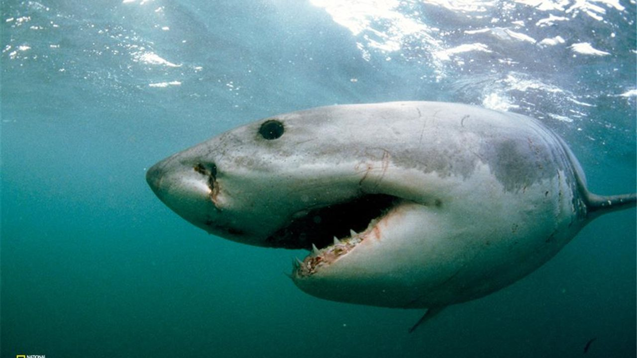 El gran tiburón blanco en peligro