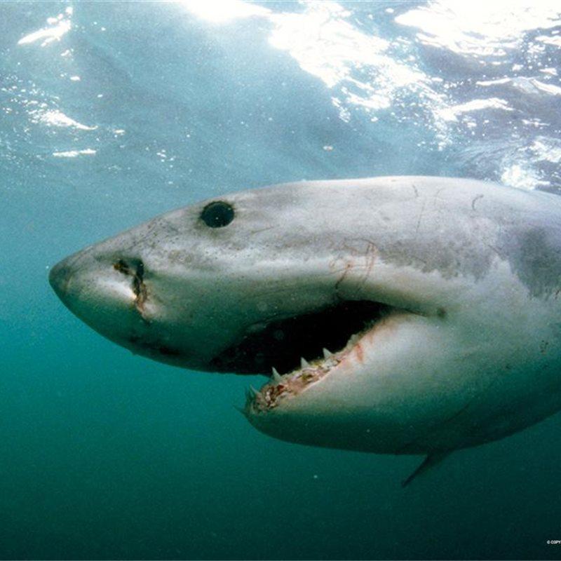 Reportajes y fotografías de Tiburones en National Geographic