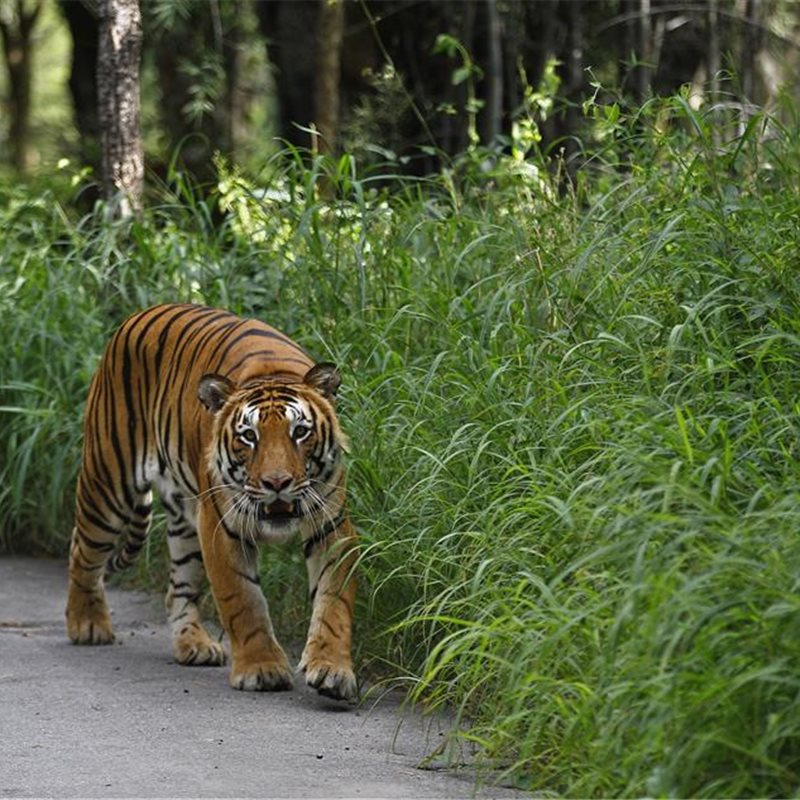 Cómo proteger al tigre: llanto por los felinos asiáticos