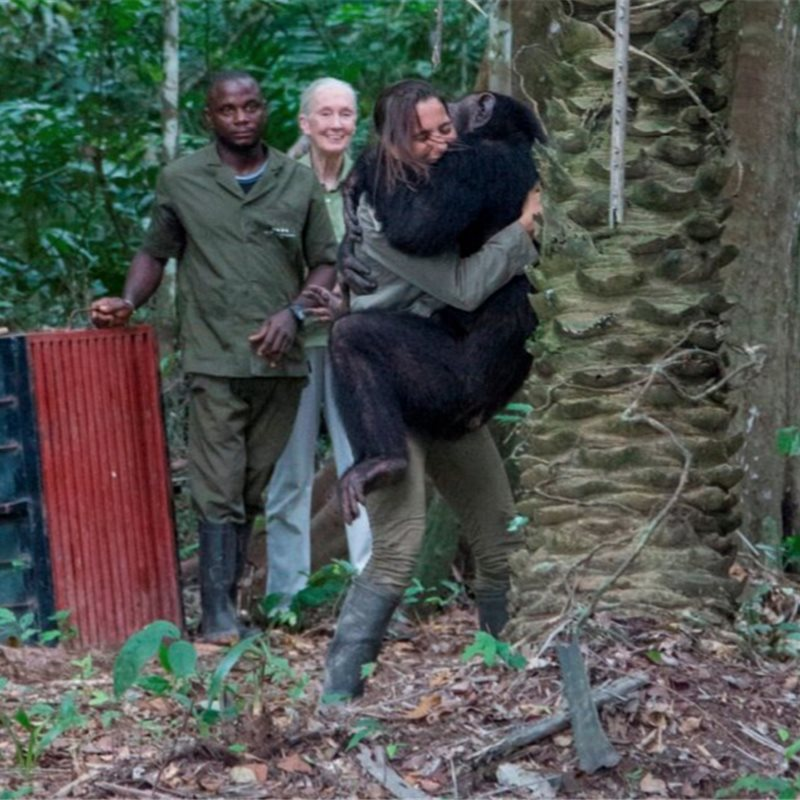 Ulengue un chimpancé liberado por el Instituto Jane Goodall