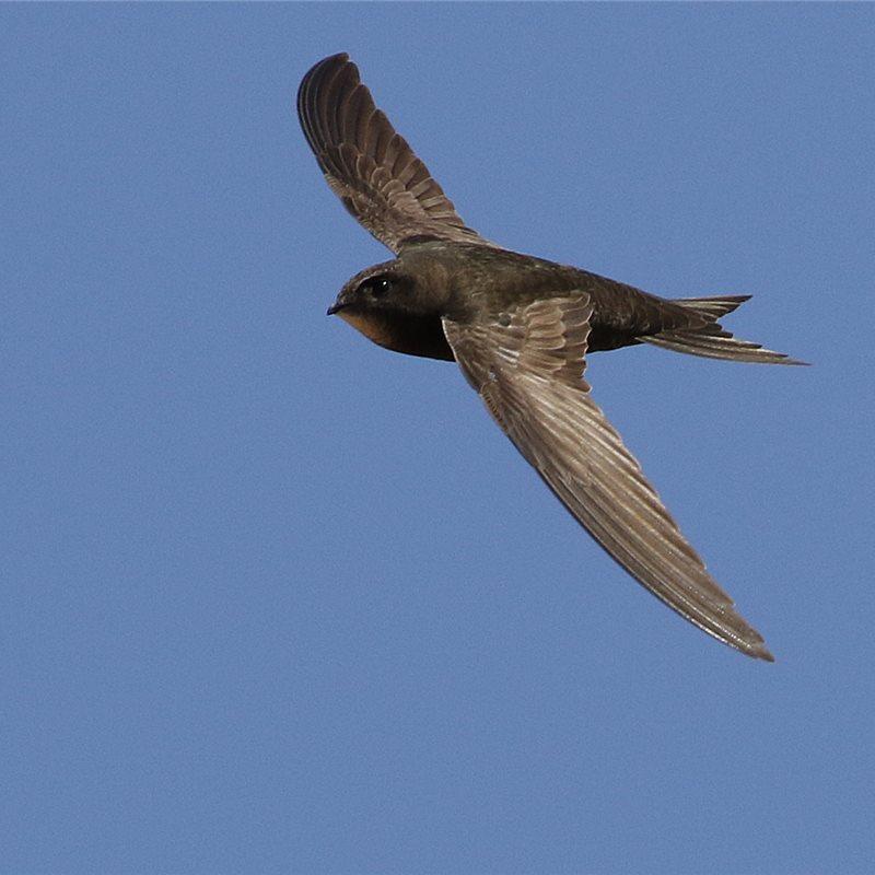 El vencejo común vuela sin posarse durante 10 meses