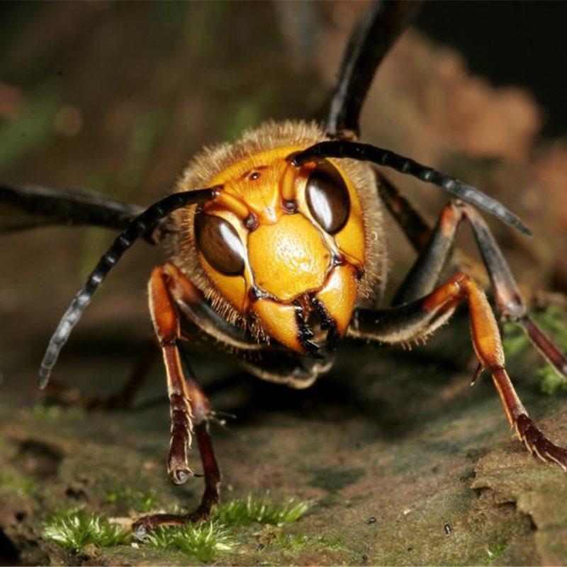 Alerta en la colmena: así dan la señal de alarma las abejas