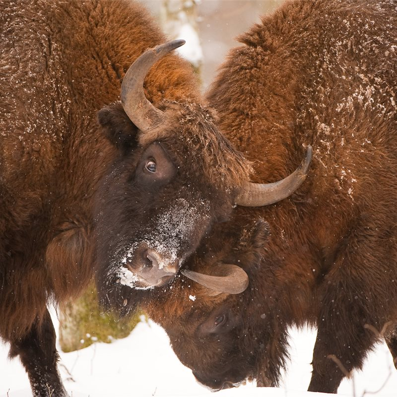 Bisonte europeo (Bison bonasus)