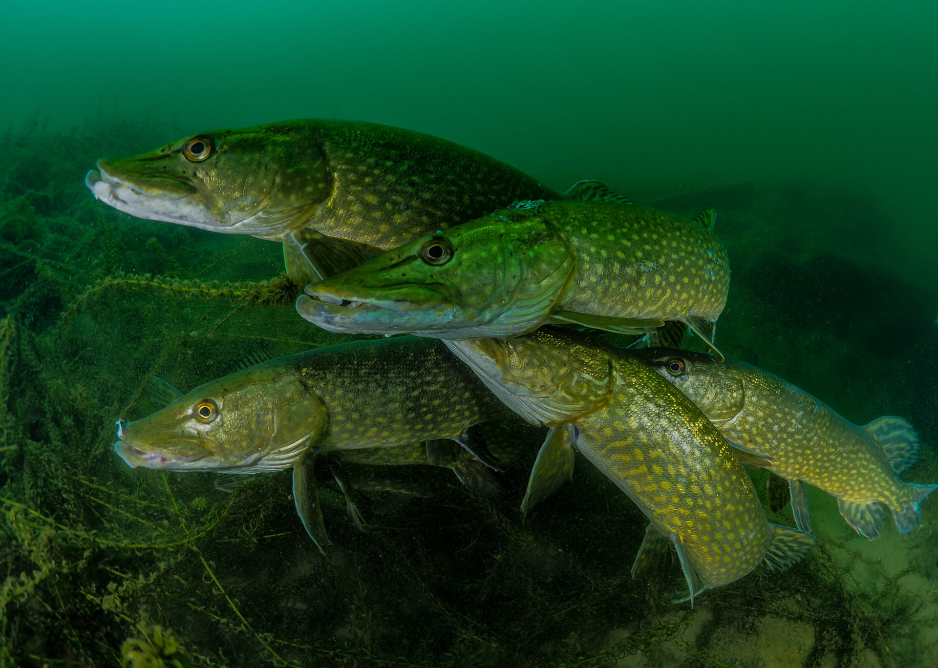 How many pike?
