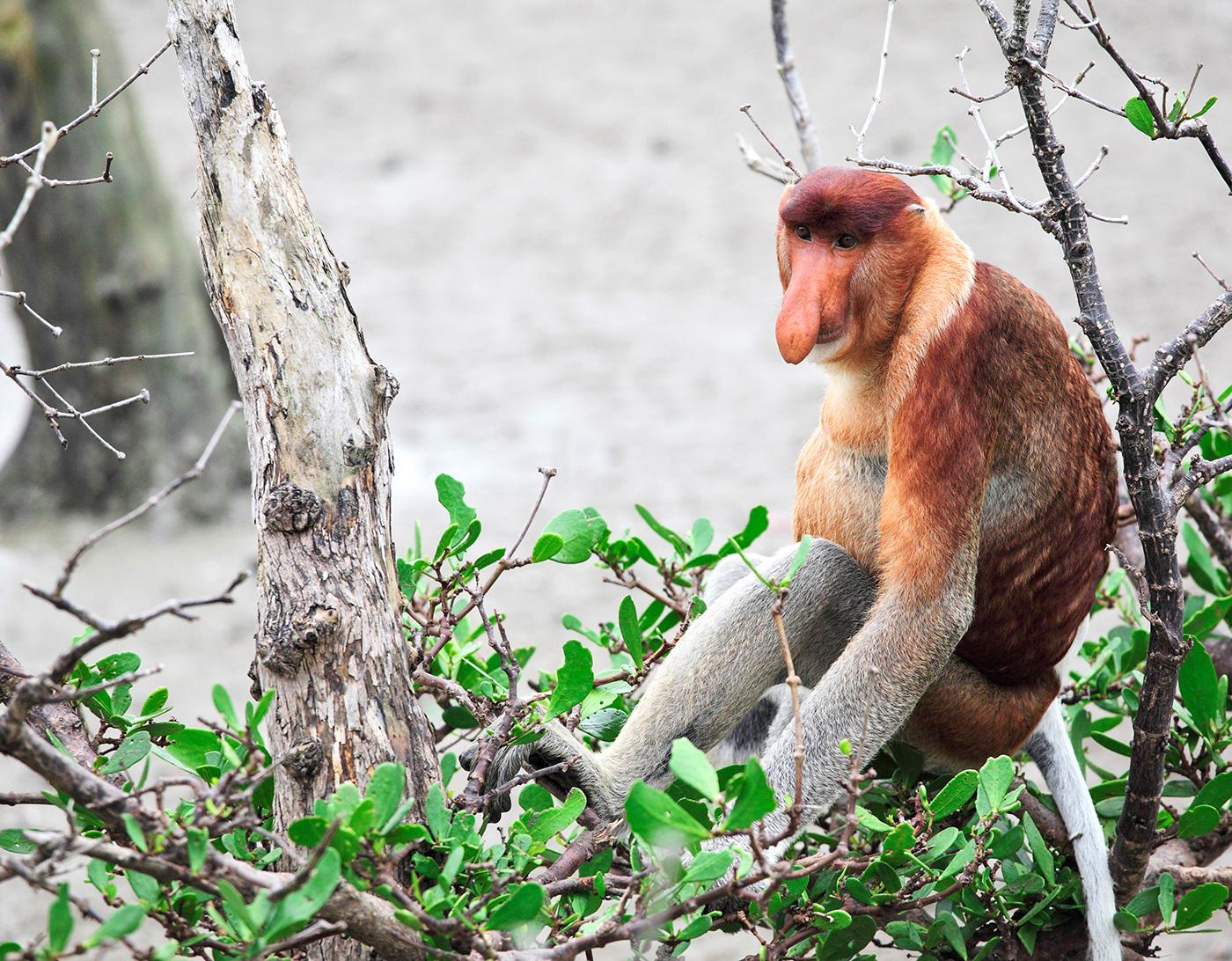 Monos narigudos: el tamaño importa