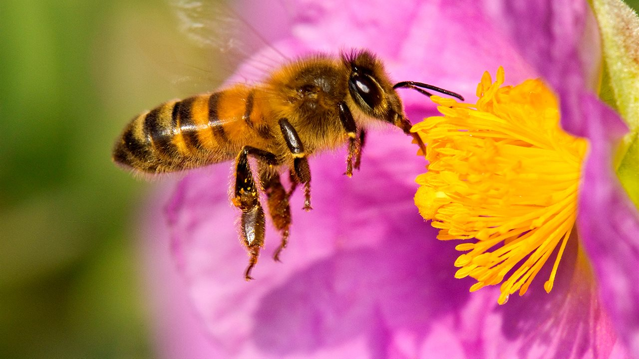 Abeja-europea-apis-mellifera-tambien-llamada-abeja-domestica-o-abeja-melifera_5650b4a0_1280x720