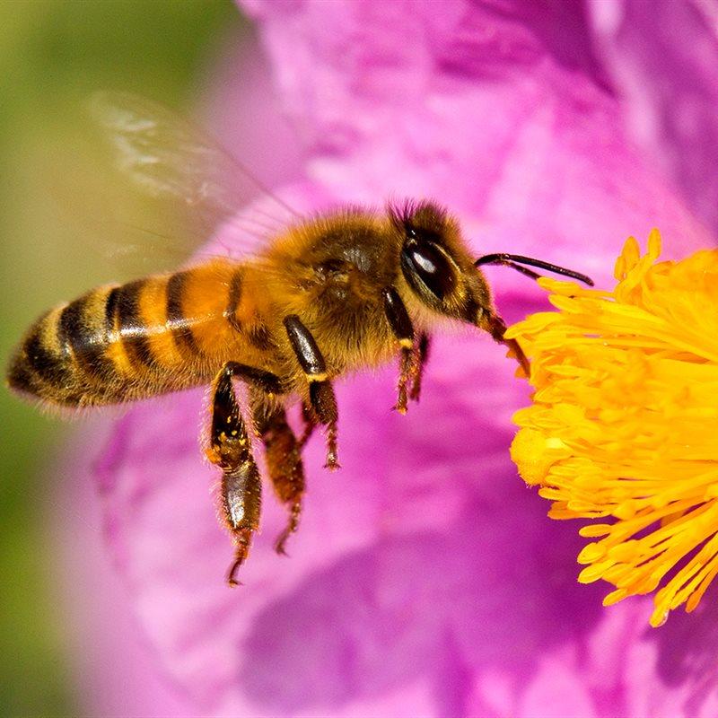 Las abejas están muriendo por diversas causas, los insecticidas, por ejemplo