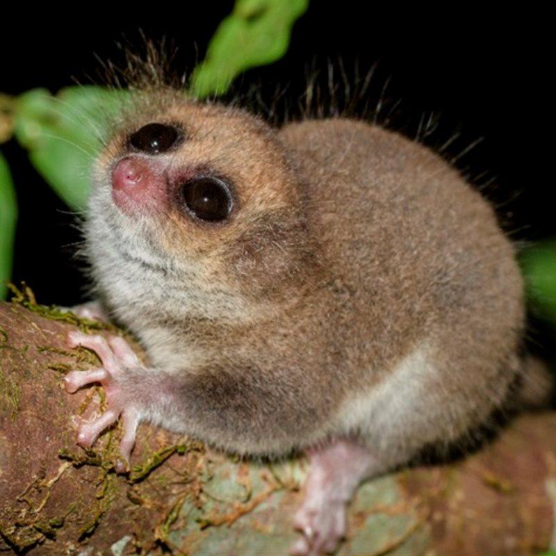 Q Son Los Lemures ¿Por qué hib...