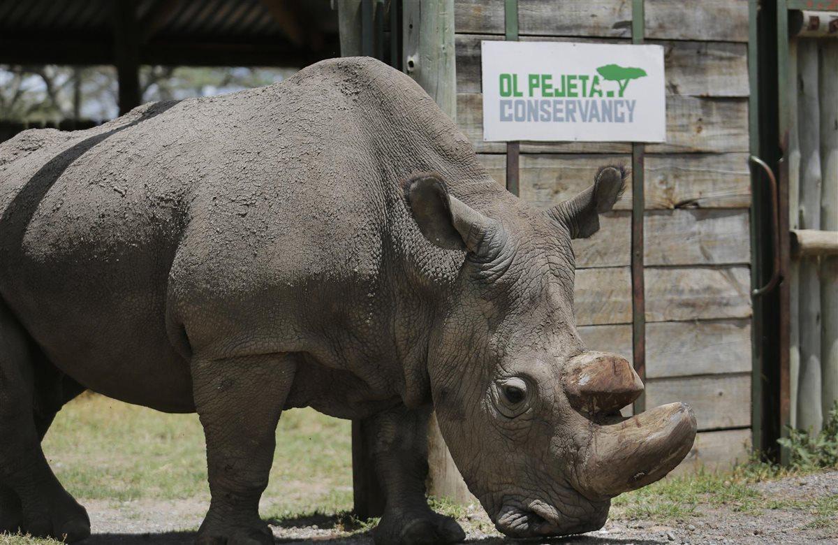 Rinoceronte blanco del norte Rinocerontesudan3_f369c7f1_1200x780