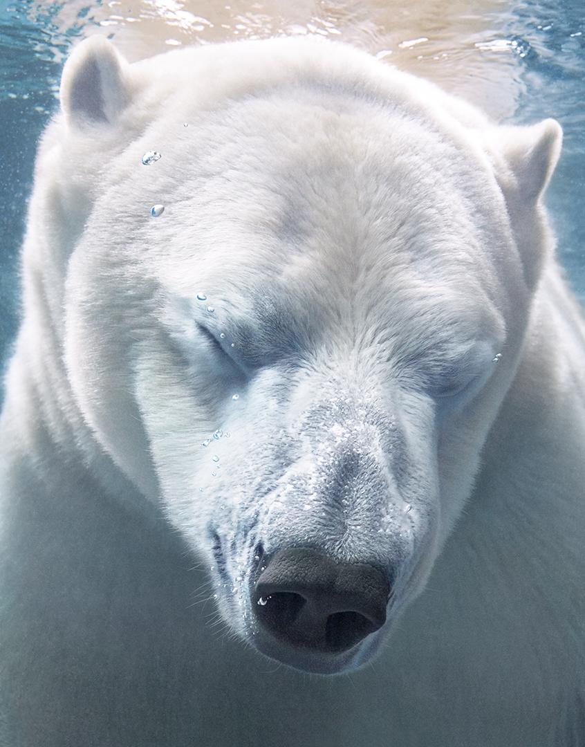 37 Fotos De Osos Polares