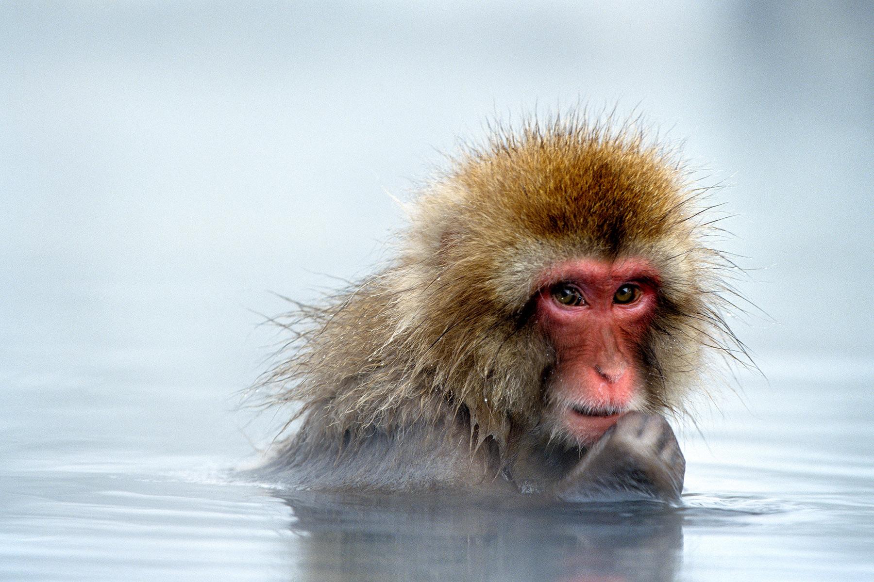 Frases De Mono: Las Fuentes Termales Reducen El Estrés De Los Macacos