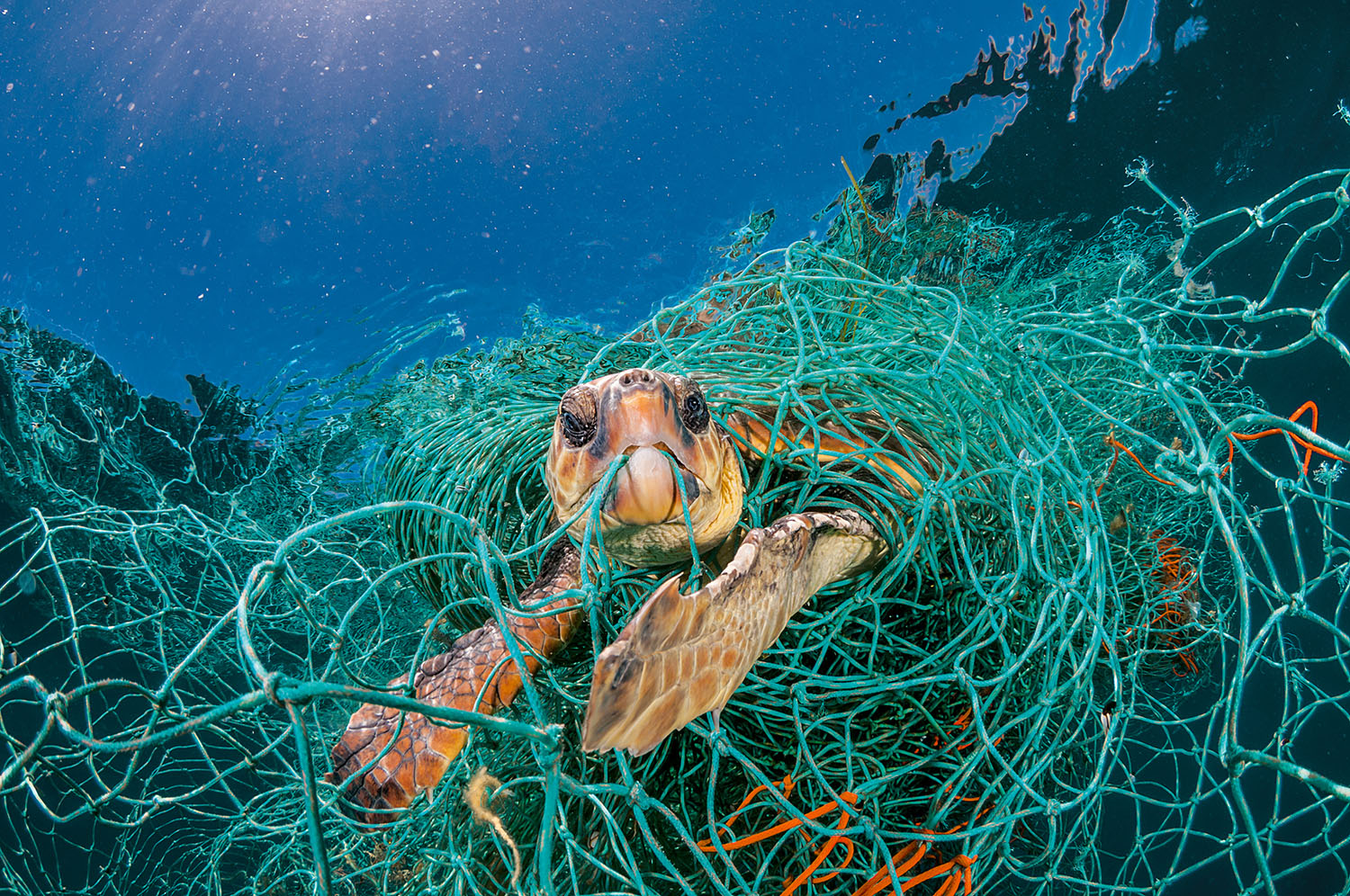 Resultado de imagen de A turtle caught up in plastic nets in the Canary Islands, Jordi Chias