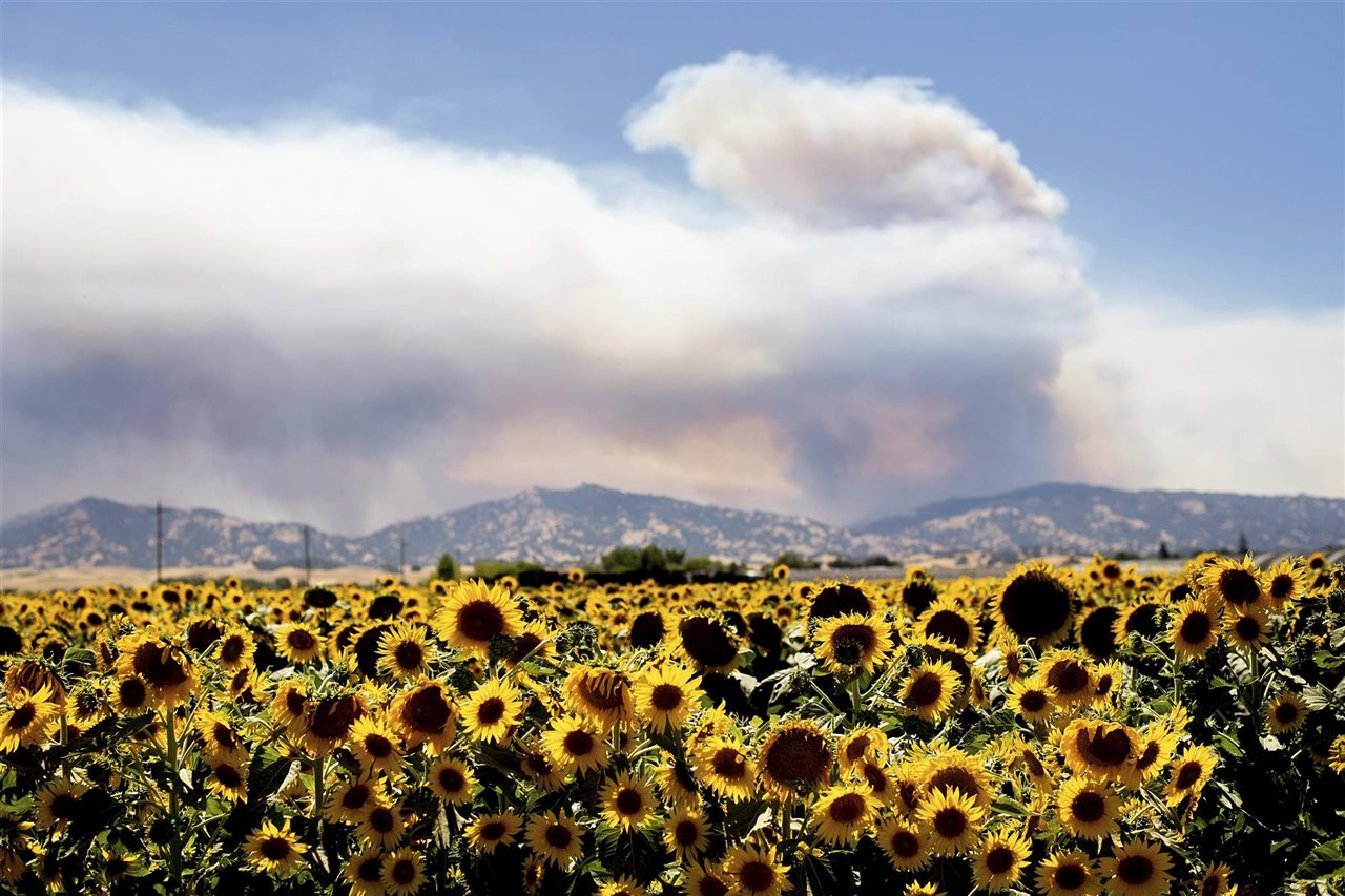 Campo de girasoles en Citrona, California
