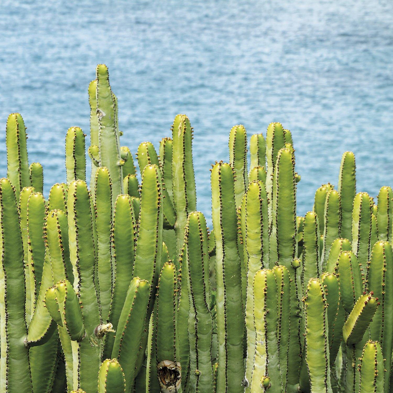 Cactus Hercules canario