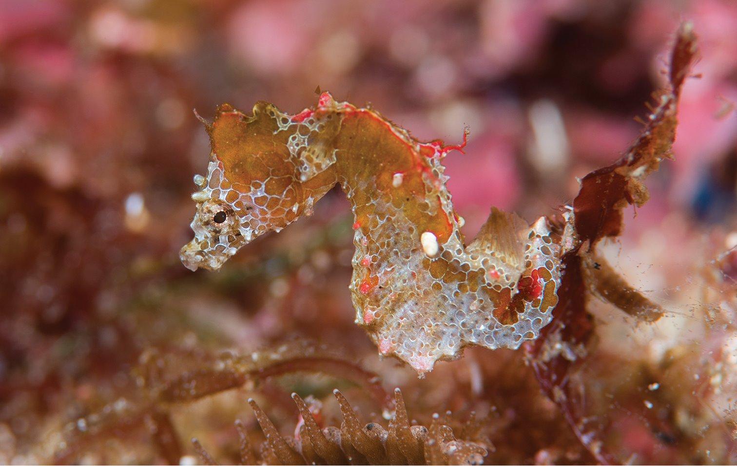 Una nueva especie de caballito de mar pigmeo