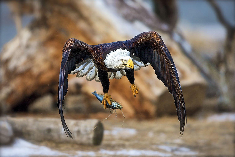 Aguila - Alaska. Águila calva en el Chilkat Bald Eagle Reserve