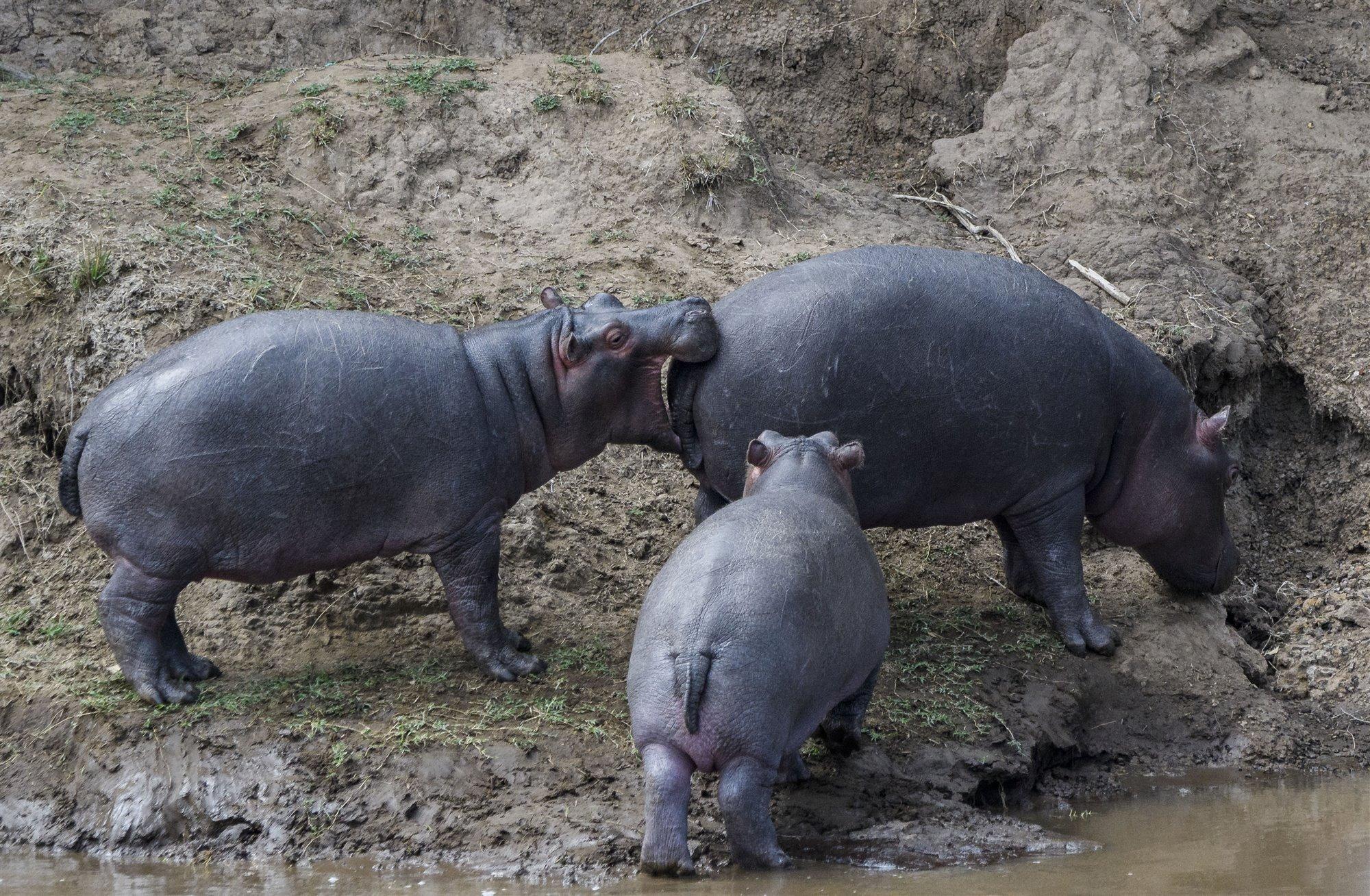 Reportajes Y Fotografías De Hipopótamo En National