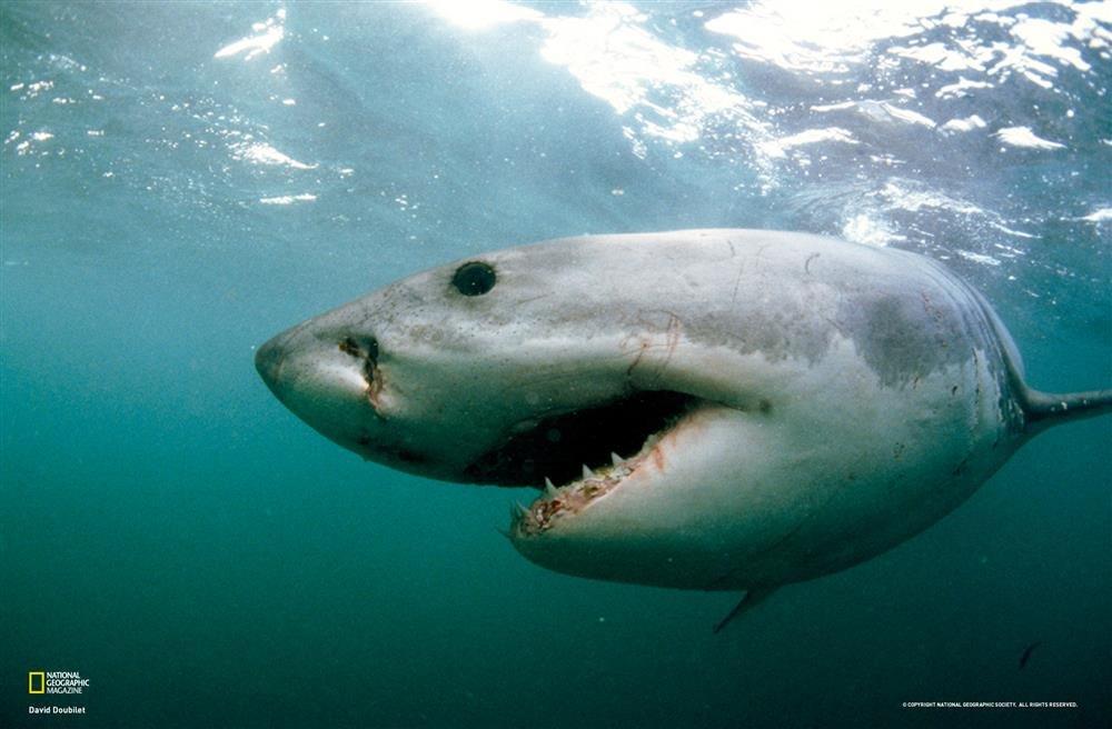 tiburon. Nadar con tiburones blancos en Sudáfrica