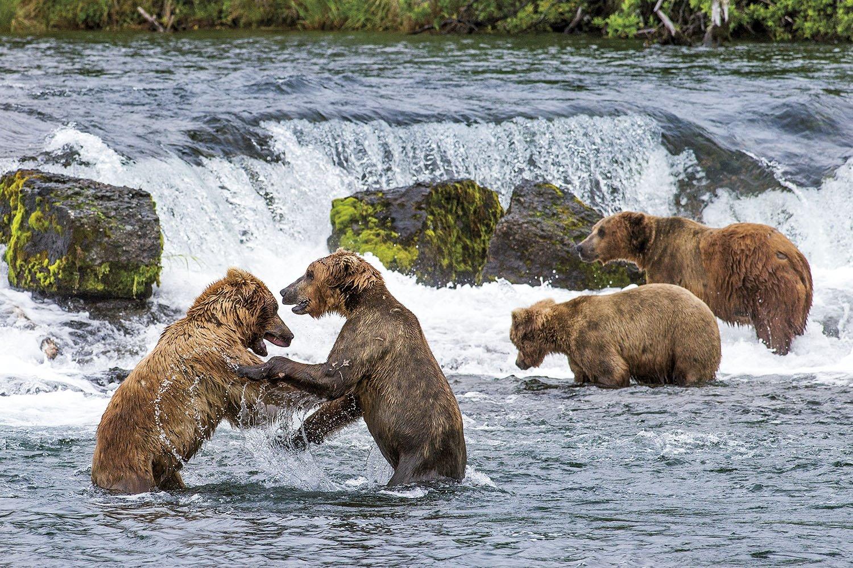 Familia de osos - Alaska. A la caza del salmón
