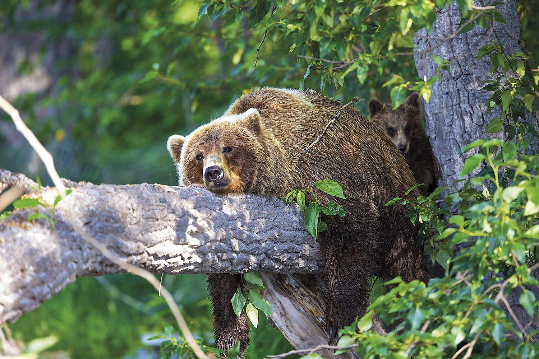 Oso Grizzly - Alaska. La siesta más larga