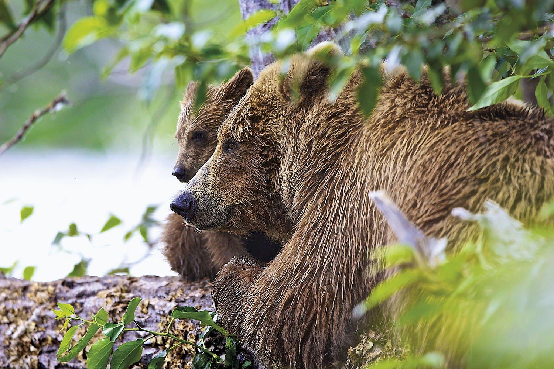 Osos - Alaska. Una osa con su cría en Alaska