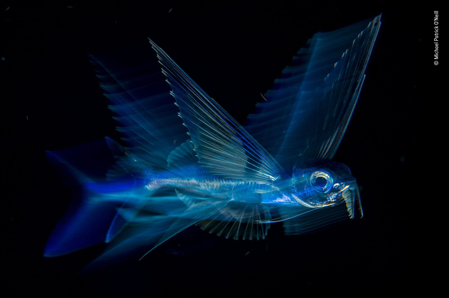 © Michael Patrick O'Neill - Wildlife Photographer of the Year. Vuelo nocturno