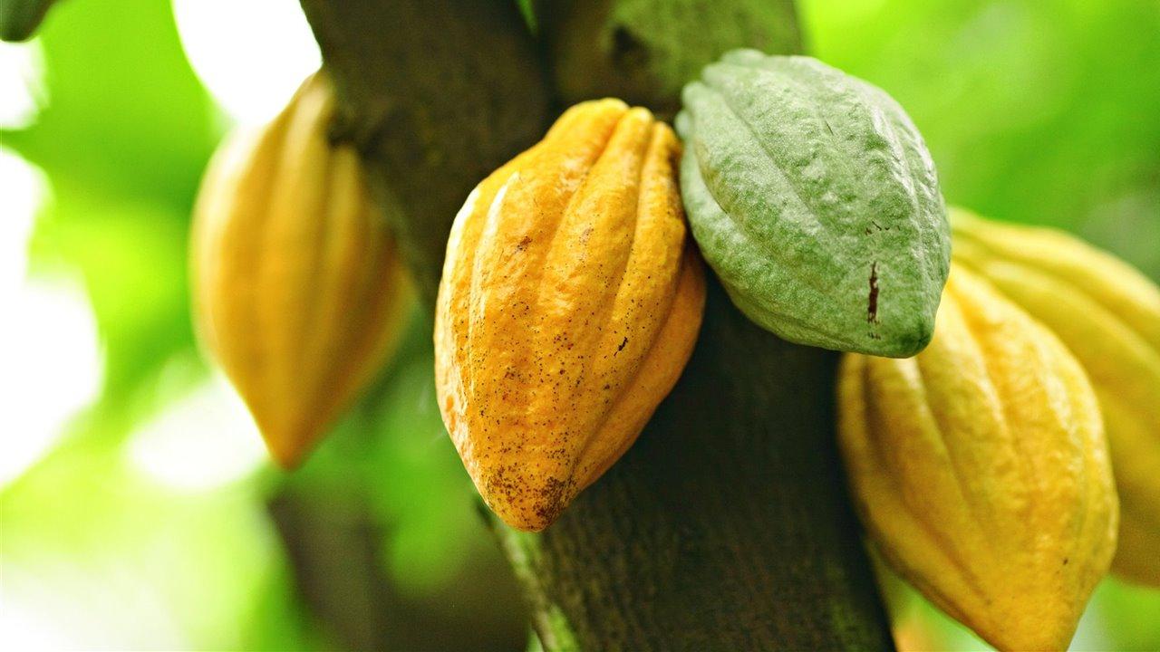 Theobroma-cacao_a68252c2_1280x720