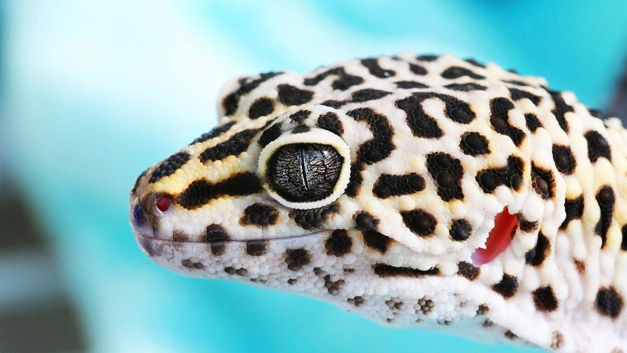 Gecko_8e734428_1280x720