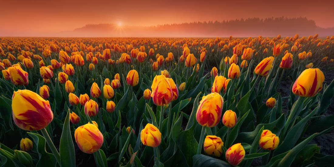 Intimate Tulips
