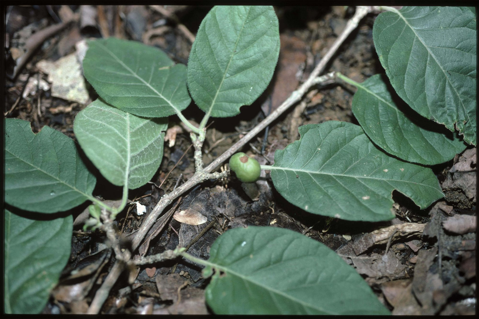 Coffea namorokensis