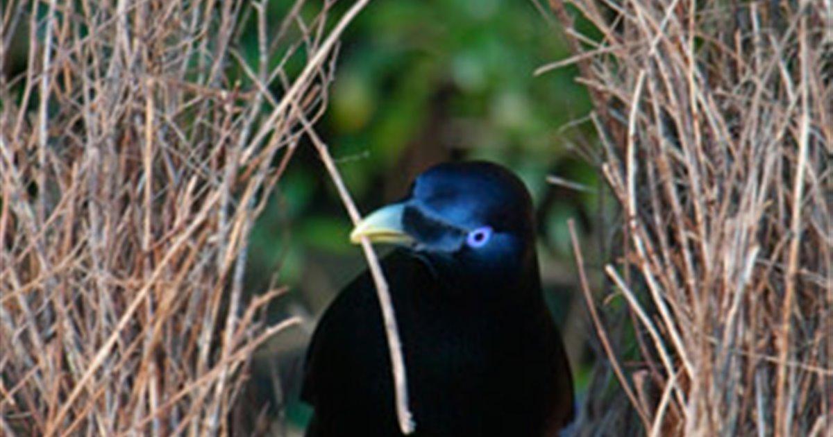 Cómo Ligan Los Pájaros Pergoleros