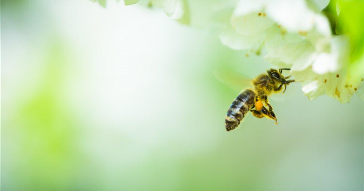 Una-abeja-melifera-se-aproxima-a-un-cerezo-en-flor_8043370e_1200x630