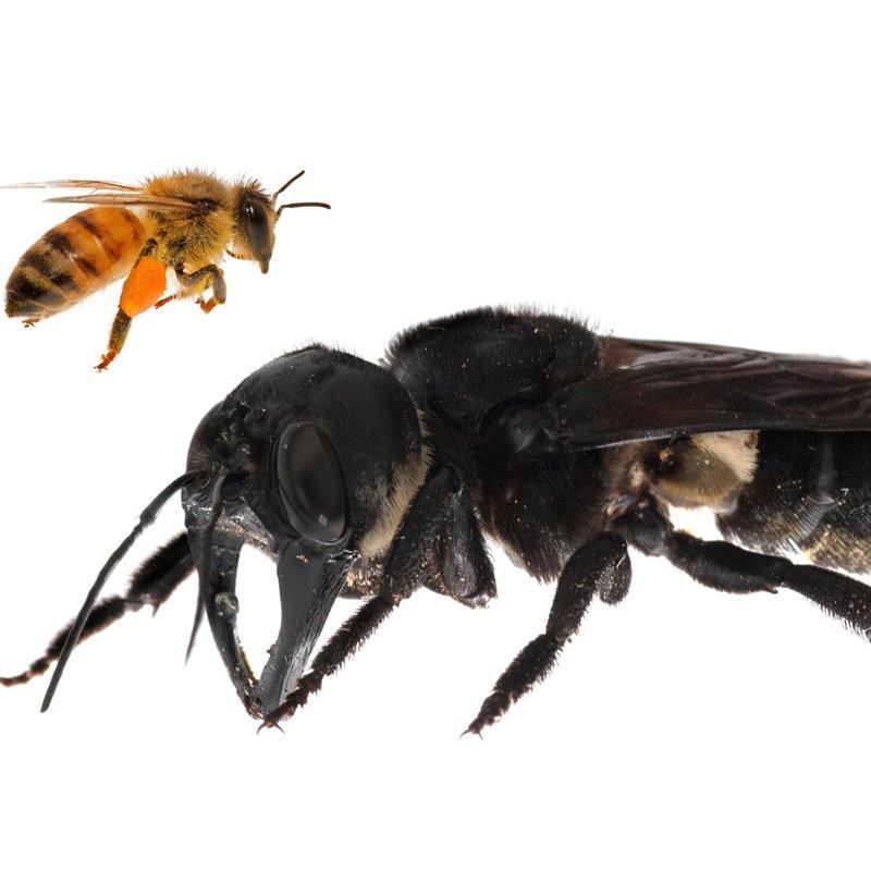 Reencontrada la abeja más grande del mundo